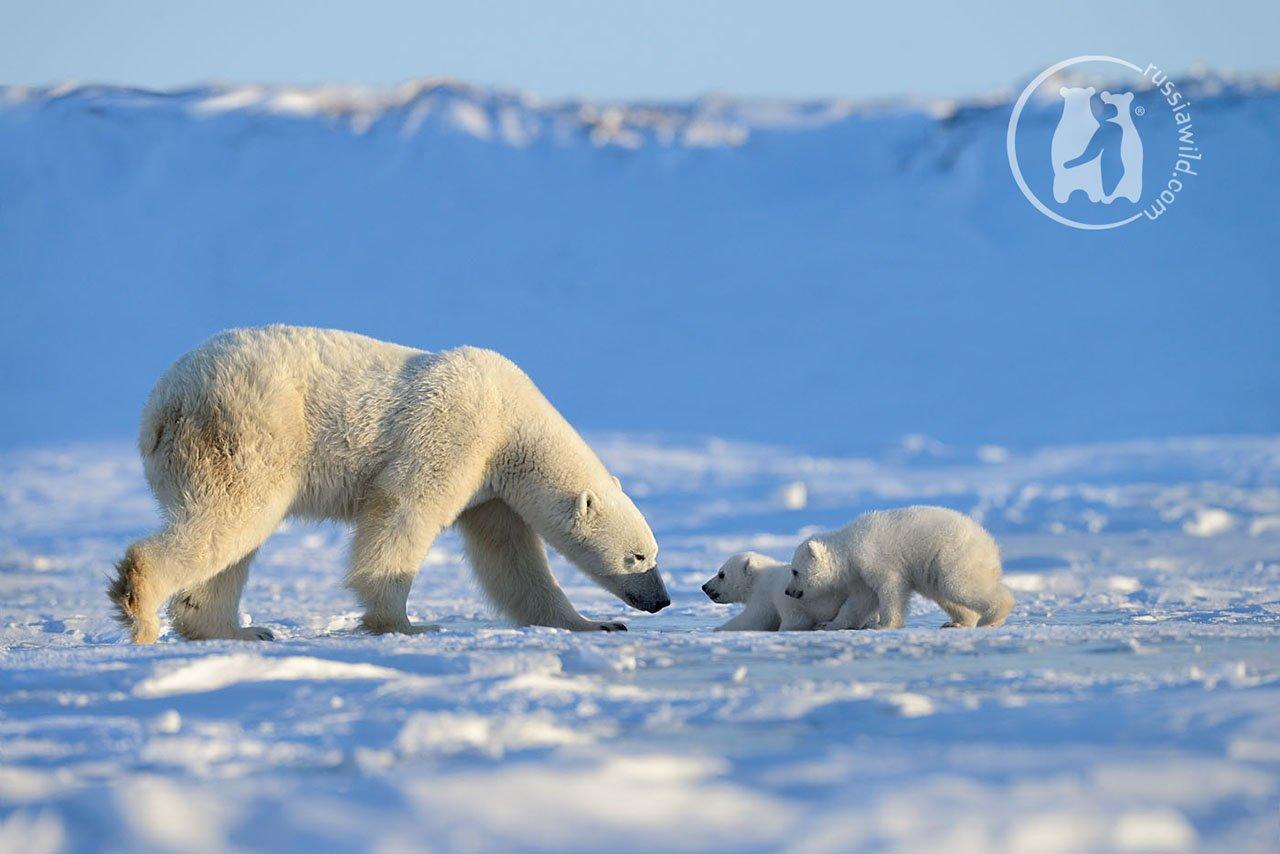 белый медведь, арктика, Николай Зиновьев