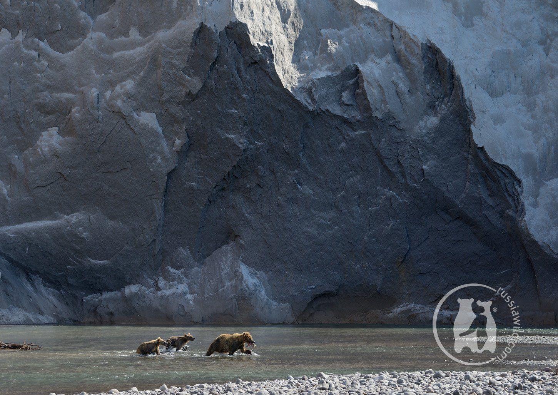 камчатка, бурые медведи, Николай Зиновьев
