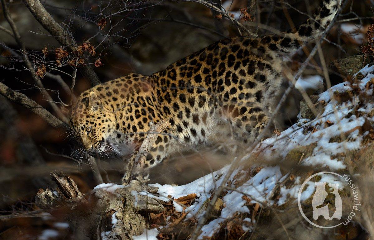 дальневосточный леопард, Николай Зиновьев