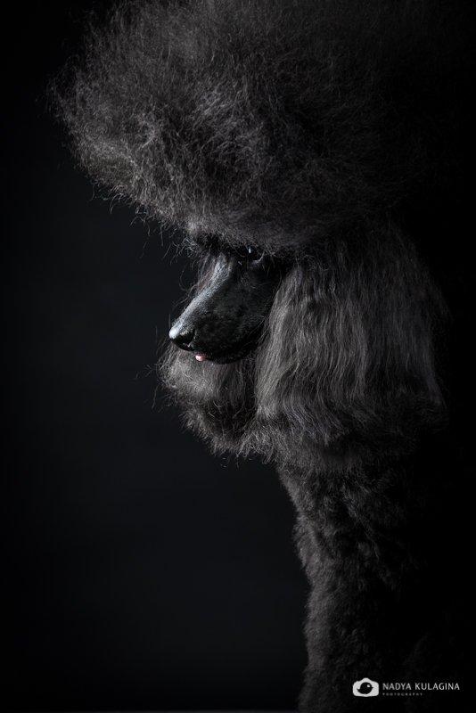 Black, Dog, Portrait, Studio, Портрет, Свет, Собака, Студия, Черное, nadeika