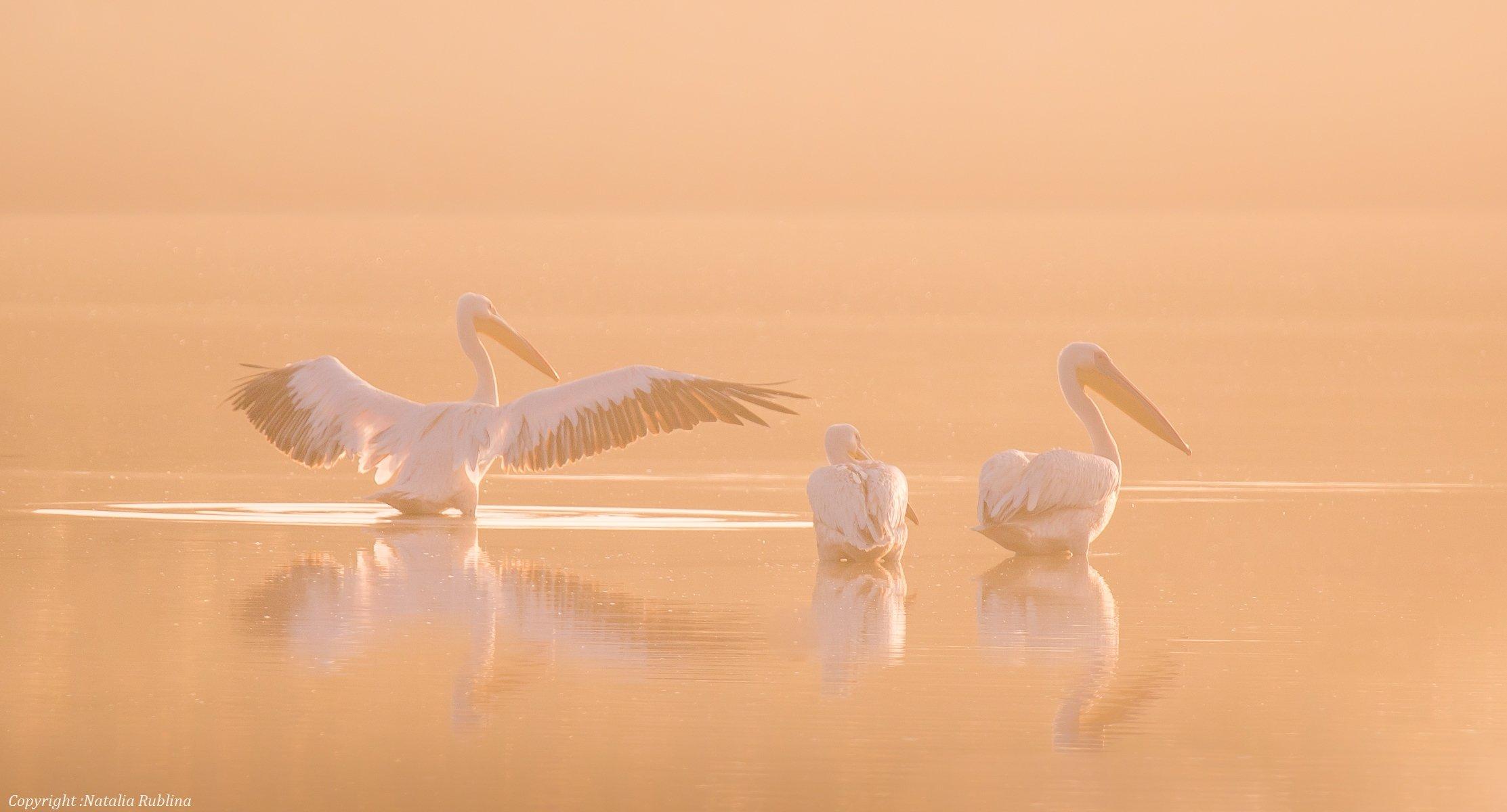 безмятежность, заповедник, красота, крылья, мечта, настроение, нежность, озеро, пеликаны, природа, птицы, рассвет, тишина, туман, утро, Наталья Рублина
