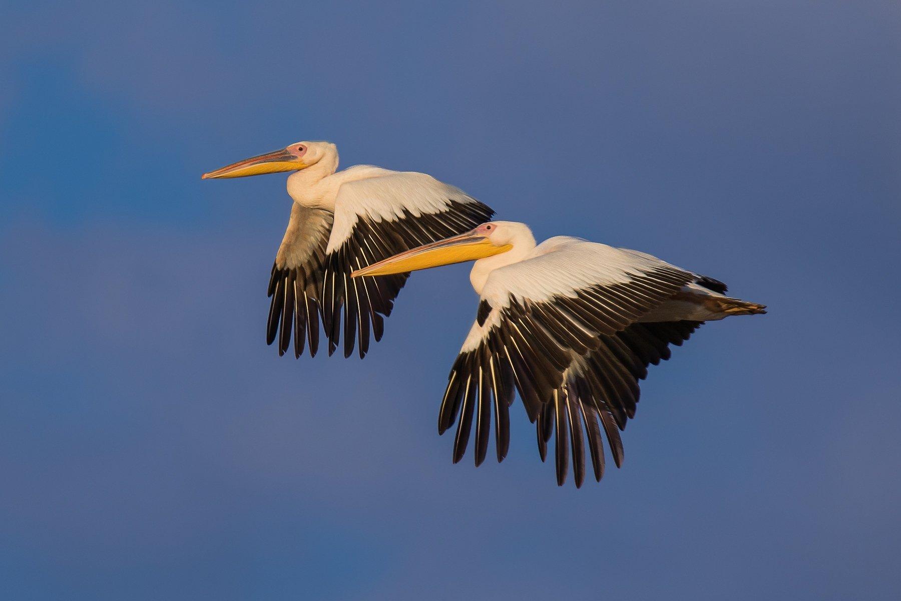 небо, пара, пеликаны, полёт, природа, птицы, Наталья Рублина