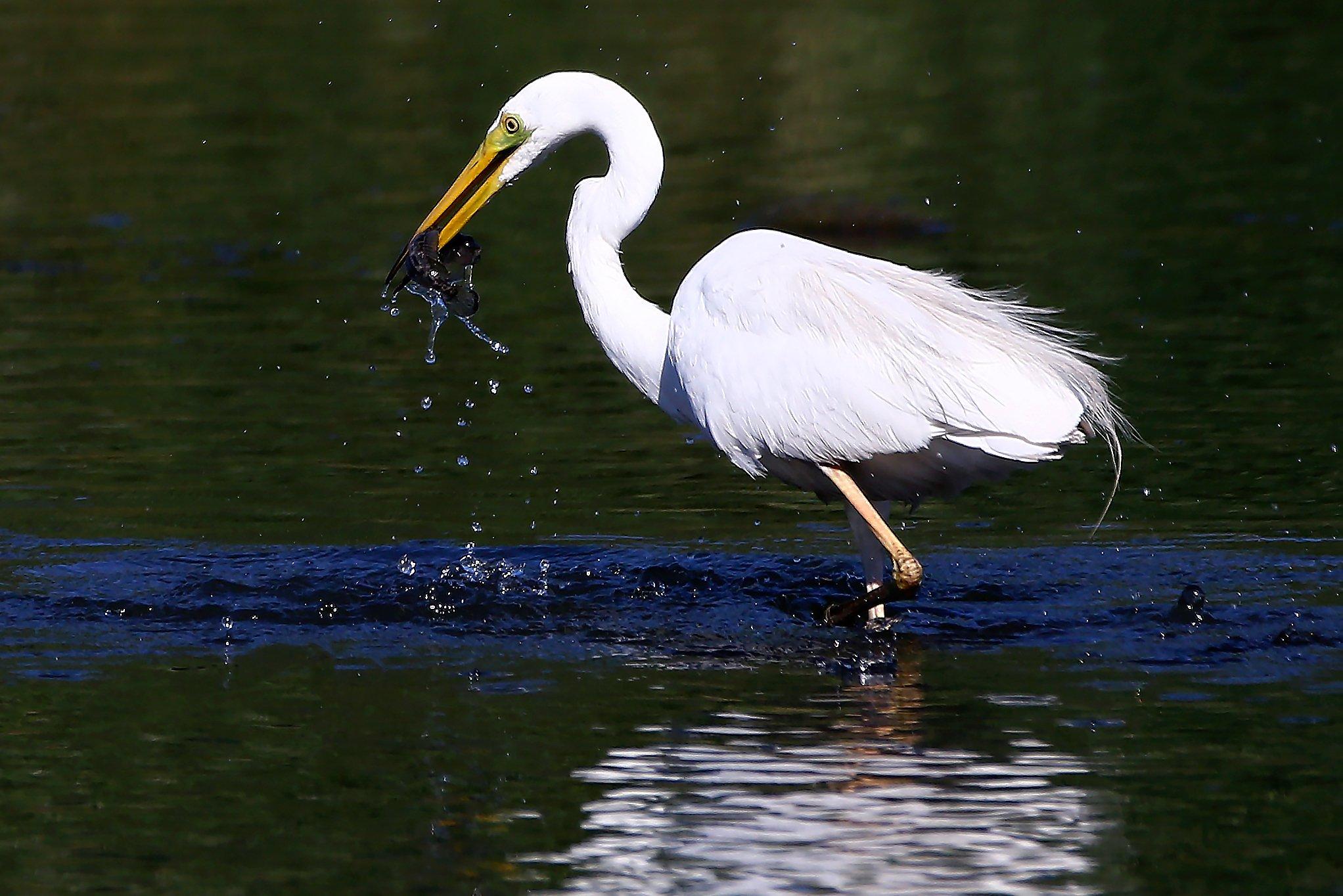 #birds, #fauna, #nature, #wildlife, #птицы, #цапля, Константин Слободчук