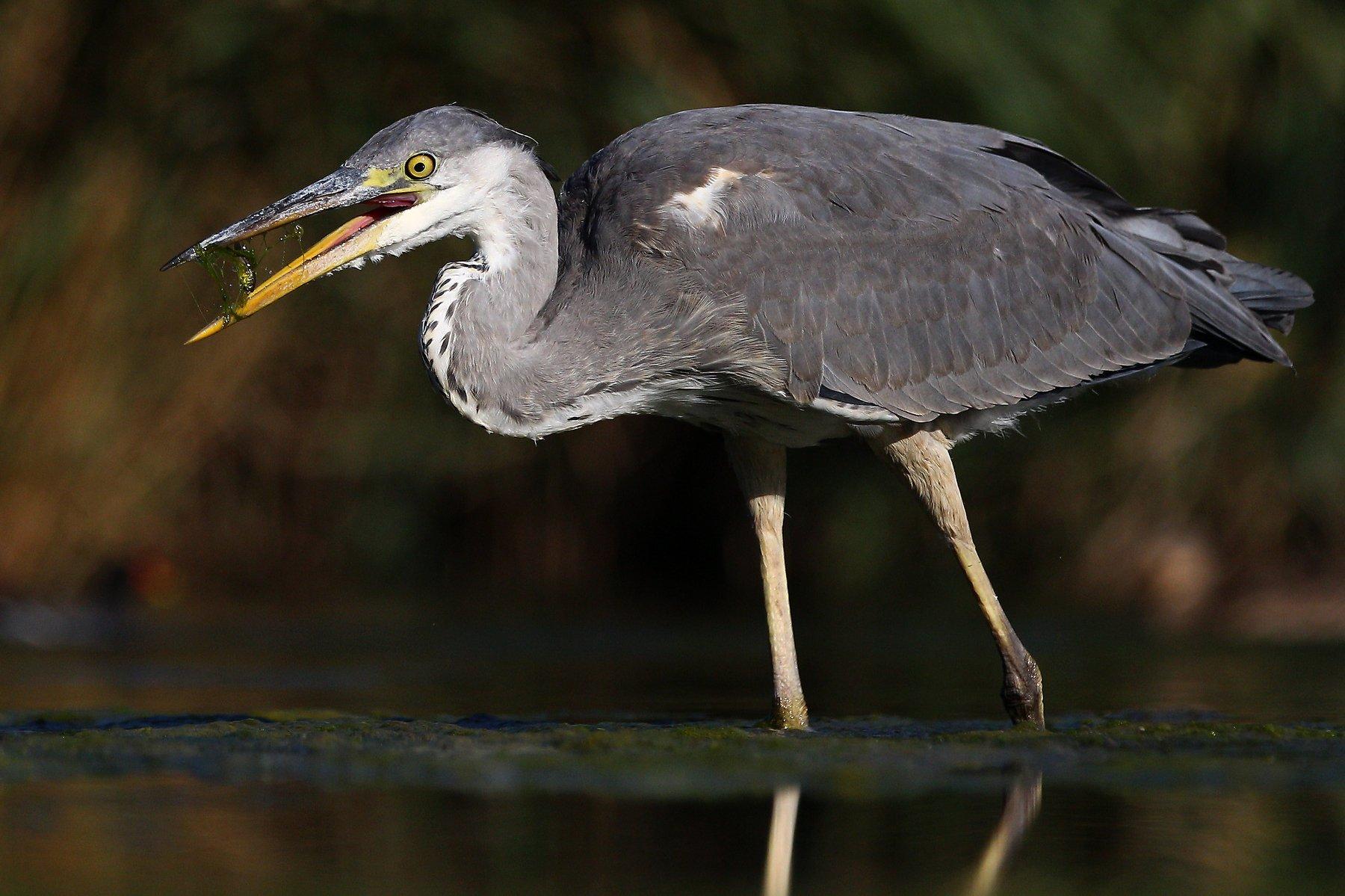 #birds, #fauna, #nature, #wildlife, #природа, #птицы, #фауна, #цапля, Константин Слободчук