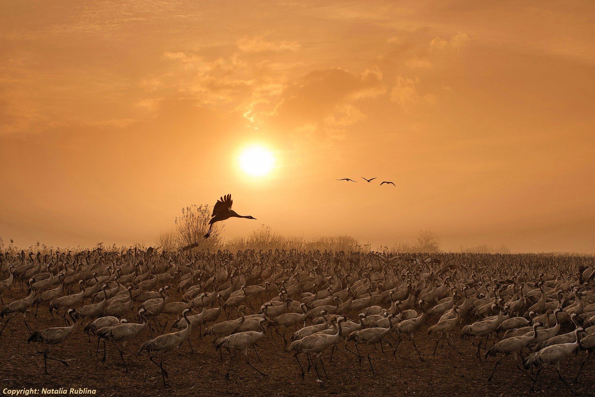 животные, журавли, природа, птицы, рассвет, свет, солнце, утро, Наталья Рублина