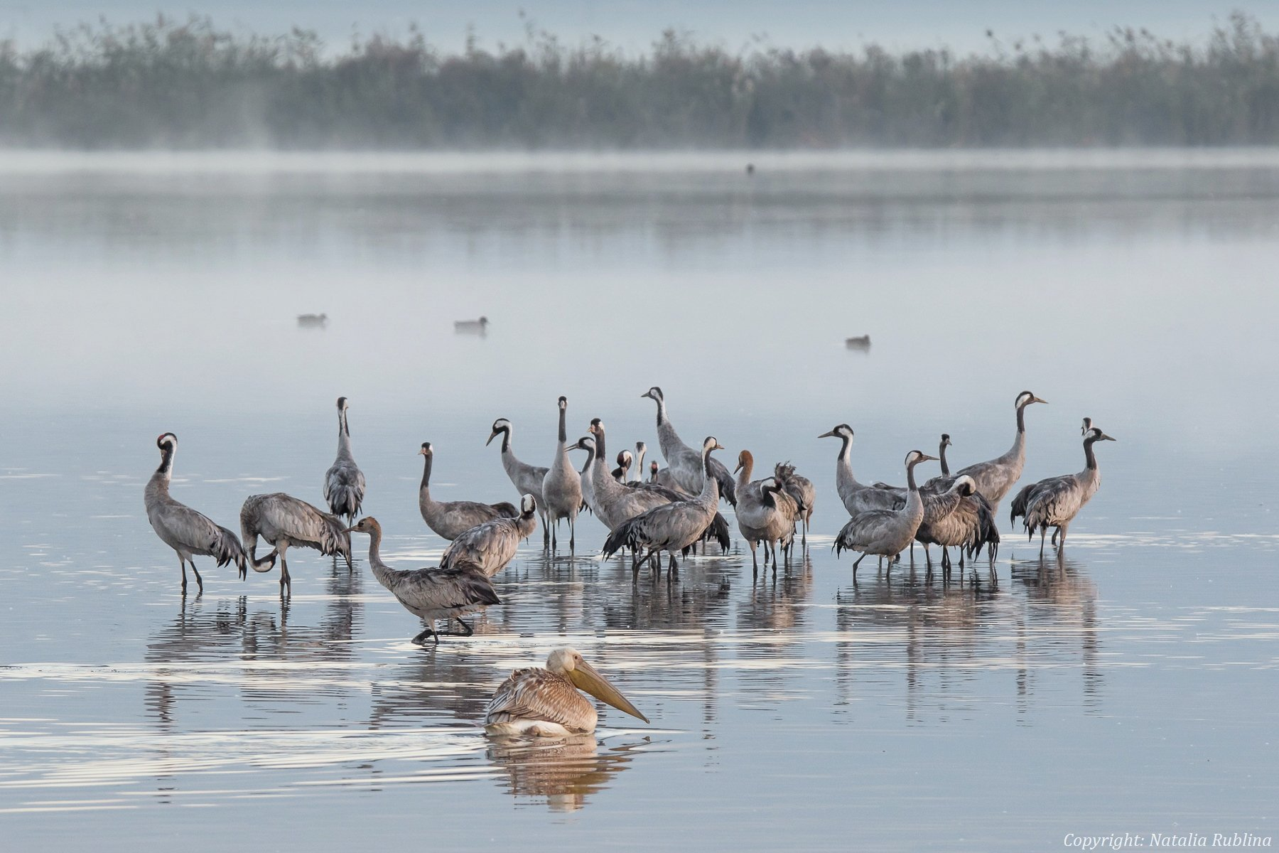Животные, Журавли, Озеро, Пеликаны, Природа, Птицы, Туман, Утро, Наталья Рублина