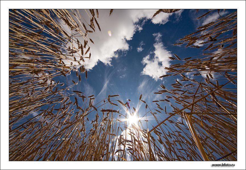 небо, пшеница, хлеба, поле, Алексей Строганов