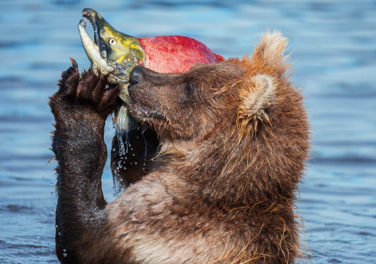 Дикая природа, Камчатка, Медведь, Медвежонок, Россия, Южно-камчатский заказник, Вадим Балакин