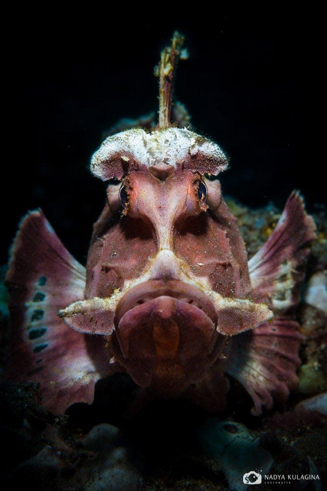 rhinopias eschmeyeri, underwater, photography, diving, macro, critter, fish, scorpion fish, nadeika