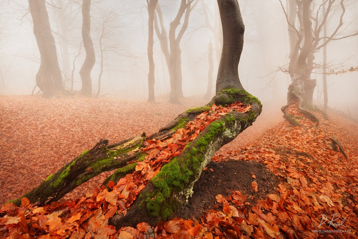 Czech republic, Ore mountains, North Bohemia, Bohemia, Tschechische republik, Erzgebirge, Europe, travel, nature, landscape, mist, fog, old tree, tree, trees, moss, leaves, autumn, fall, autumn forest, forest, rain, wet, rainy forest, rainy day, mountains, Daniel Rericha