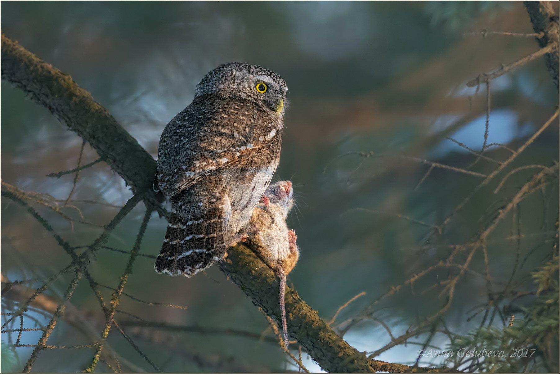 птицы, природа, сыч, glaucidium passerinum, pygmy owl, воробьиный сыч, зима, февраль, 2017, москва, гбс, Анна Голубева