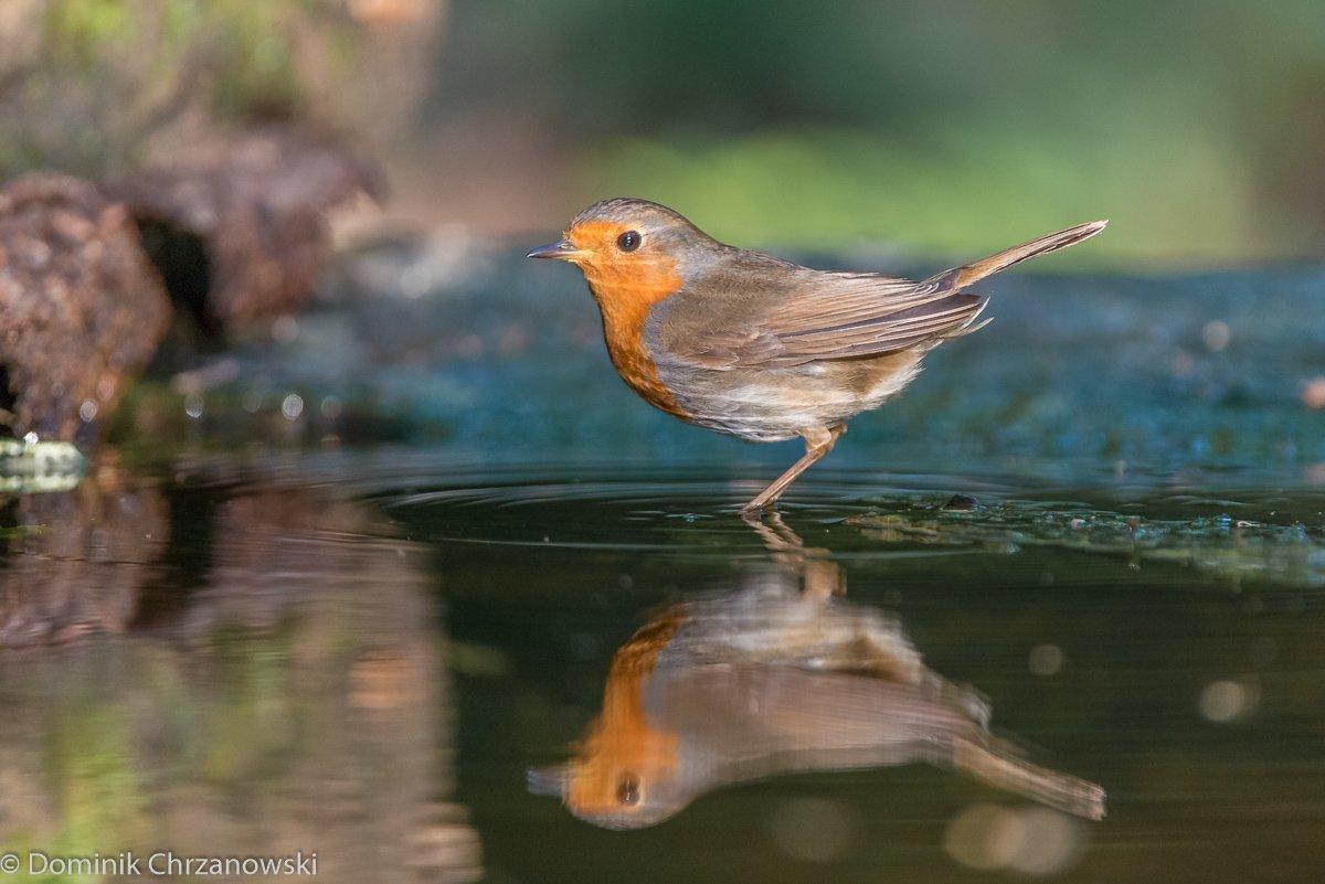 European Robin, Erithacus rubecula, Rudzik, ptaki, birds, Dominik Chrzanowski photography, Birder's Corner, Dominik Chrzanowski