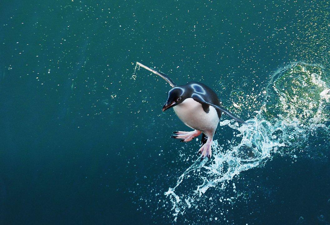 пингвин адели,  антарктика., Руслан Елисеев