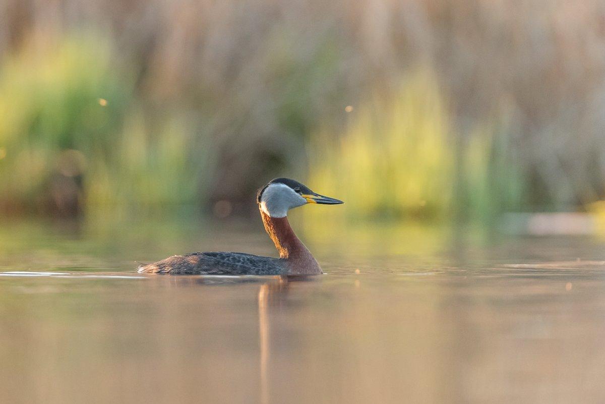 red-necked grebe; Podiceps grisegena; Birder's Corner; Birds, Dominik Chrzanowski