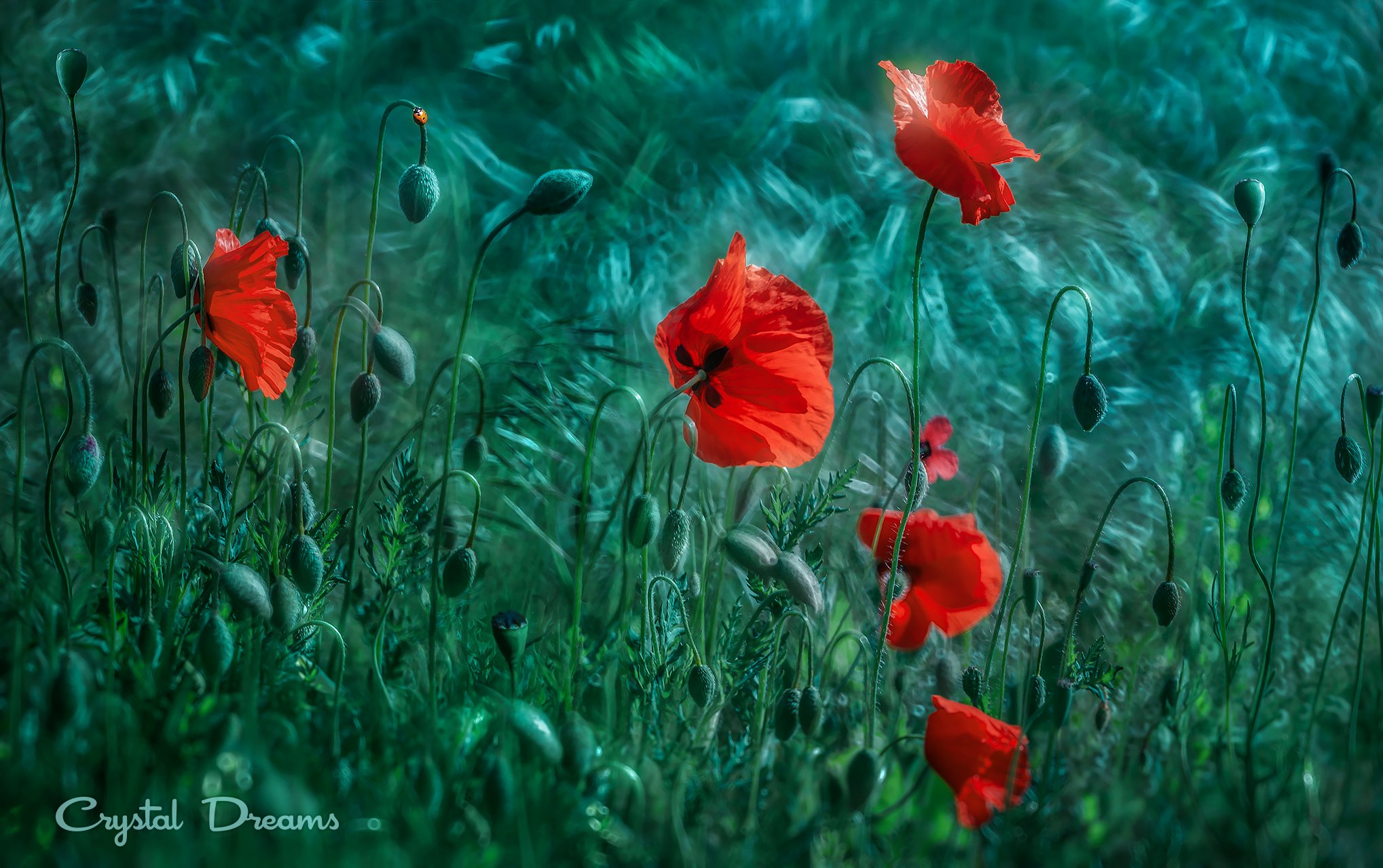 crystal dreams, macro, spring, color, art, nature, wild, meadow, poppies, Крылова Татьяна