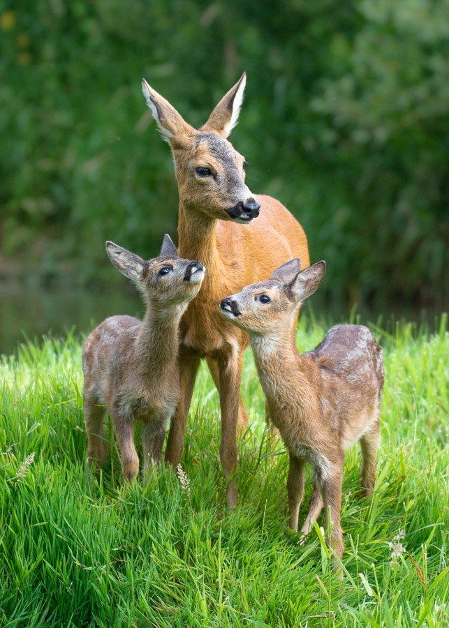 deer, love, mother, family, nature, wild, animals, Filip Stefaniak