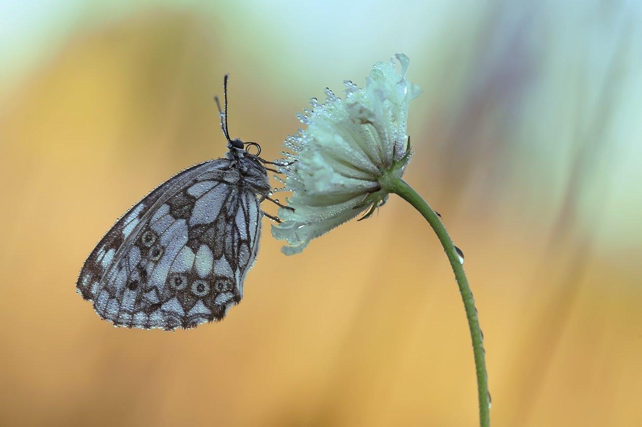 галатея, бабочка, макро, Леонид