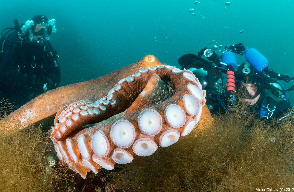underwater, octopus, Виктор Чистов