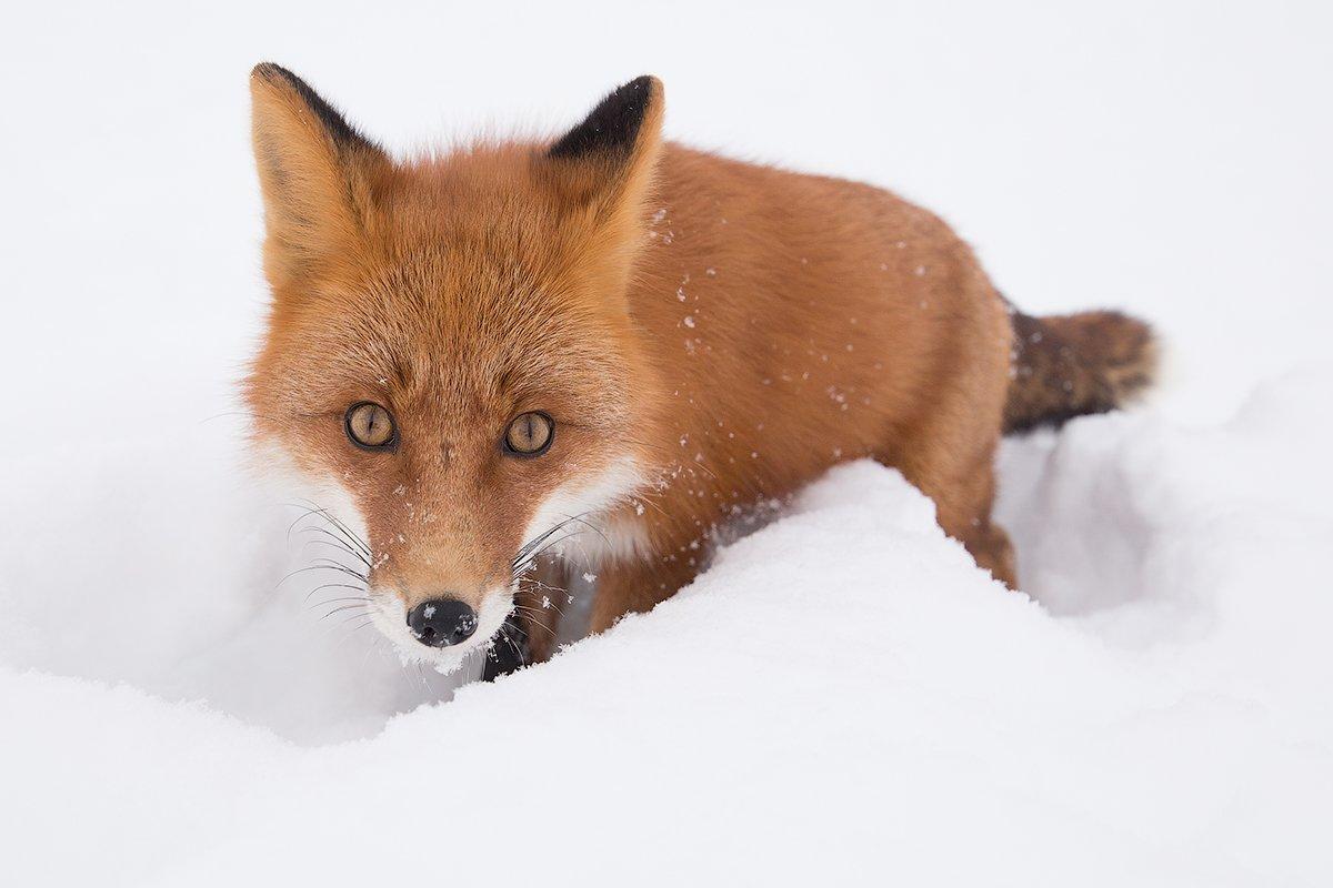 Камчатка, зима, природа, путешествие, лиса, животные, , Денис Будьков