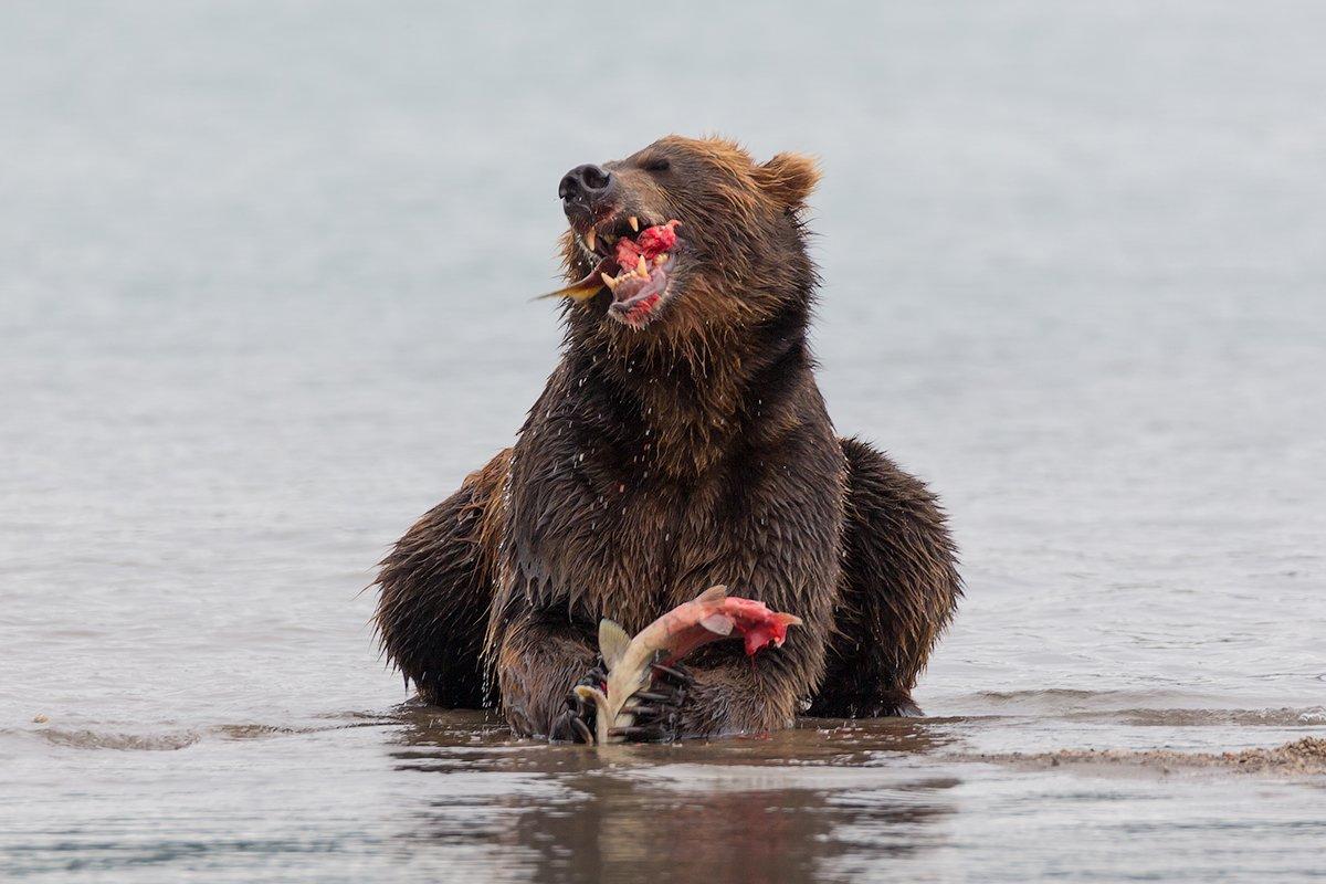 Камчатка, медведь, природа, путешествие, животные, россия, фототур, Денис Будьков