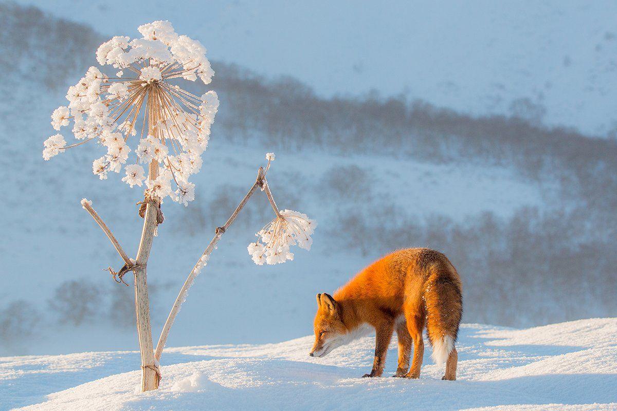 Камчатка, лиса, животные, природа, путешествие, россия, зима,, Денис Будьков