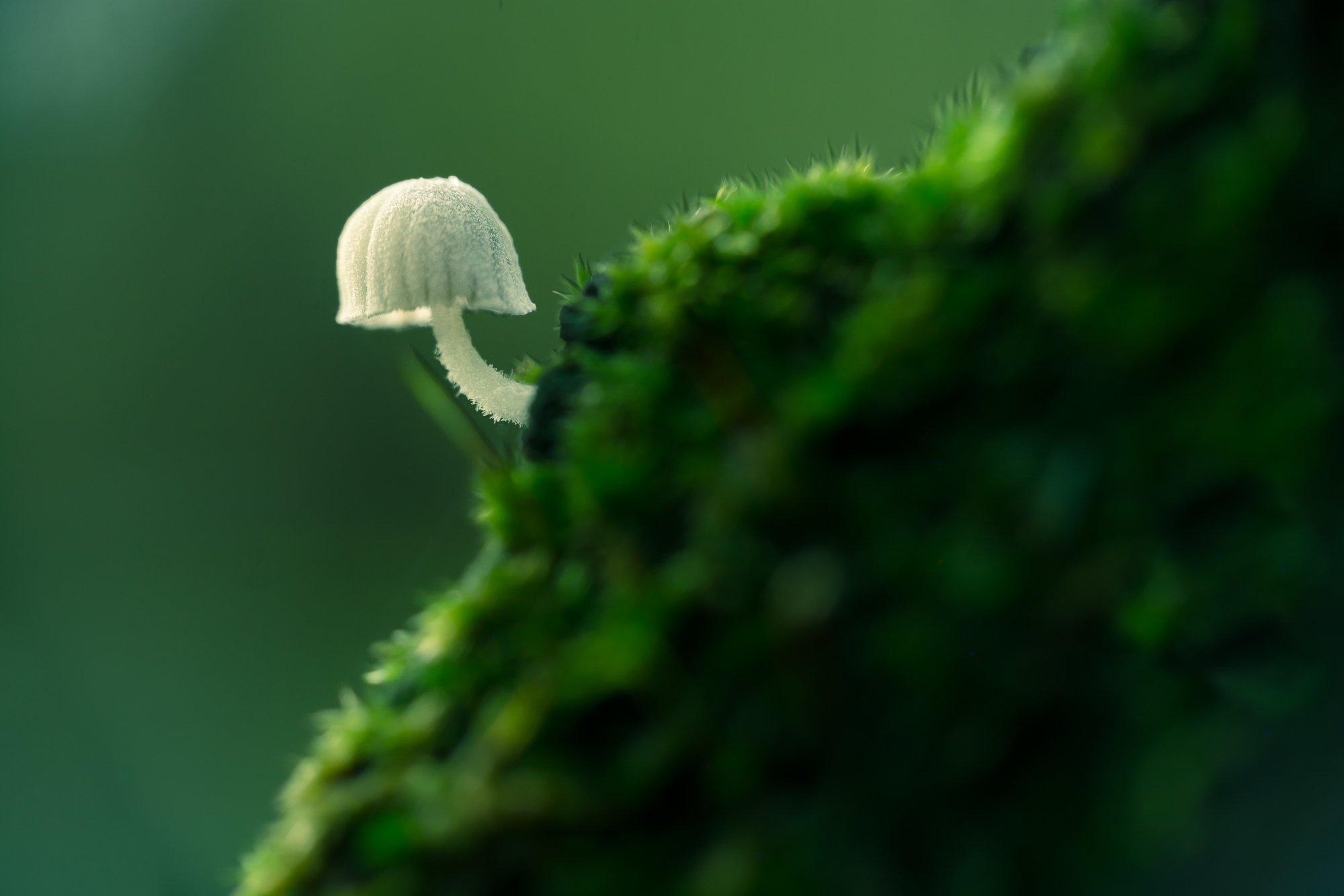 macro, nature, 3mm, fungi, small, white, moss, green, patern, natural, Antonio Bernardino