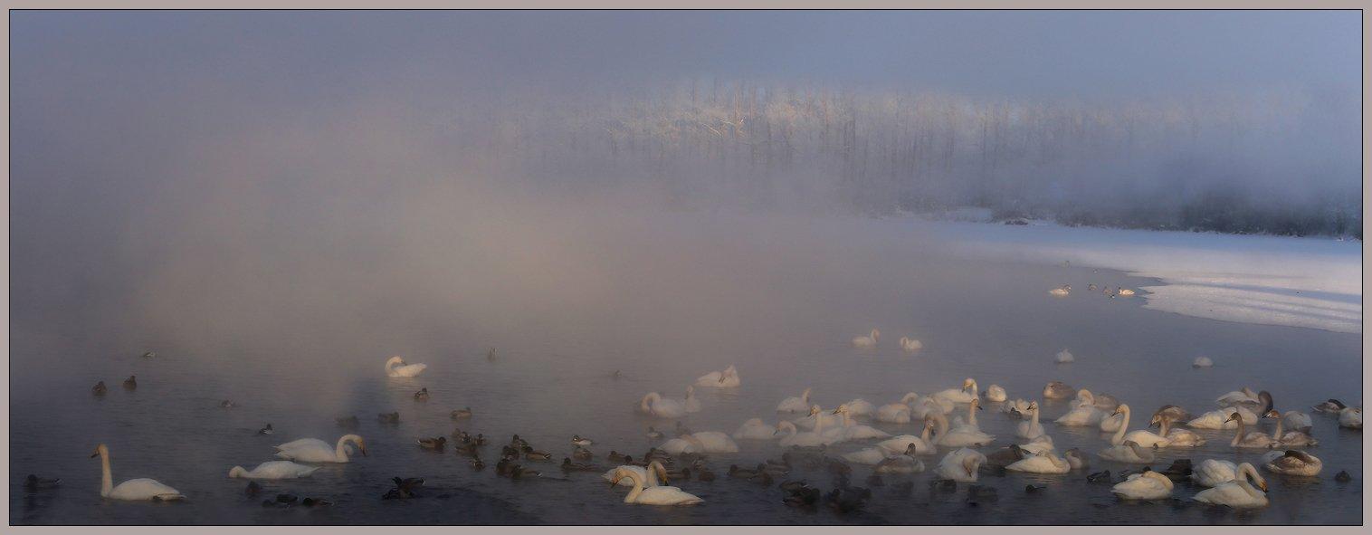 алтай, село урожайное, озеро светлое, лебеди, зима, мороз, туман, Галина Хвостенко