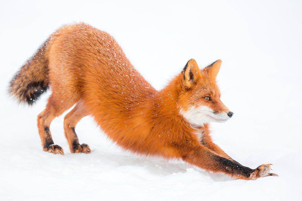 Камчатка, лиса, зима, природа, путешествие, россия, снег, животные, Денис Будьков