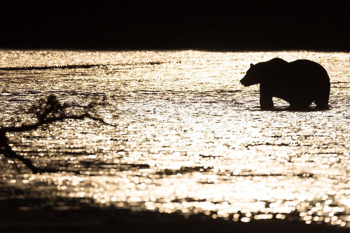 Камчатка, медведь, закат, природа, путешествие, россия, рыбалка, животные, Денис Будьков