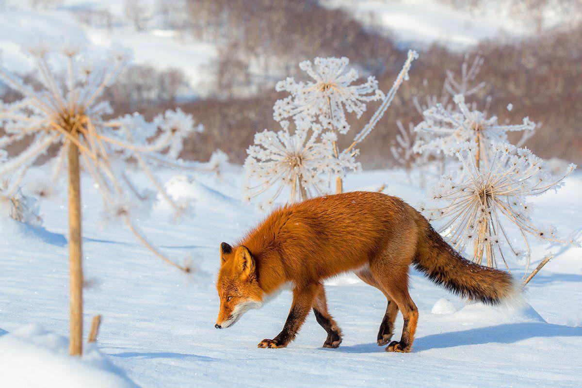 Камчатка, лиса, зима, природа, путешествие, животные, одуванчик, Денис Будьков
