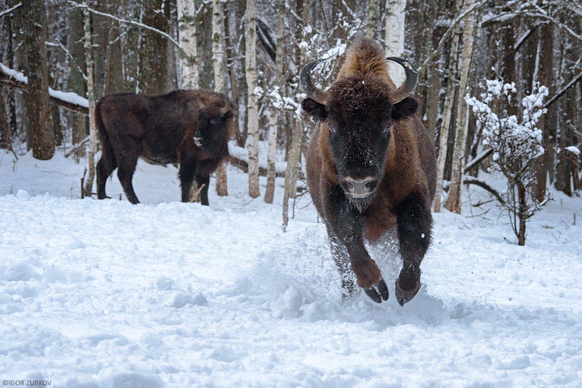 зубр, заповедник, калужские засеки, метель, зима, снег, животные, bison, animal, winter, snow, Игорь Зубков