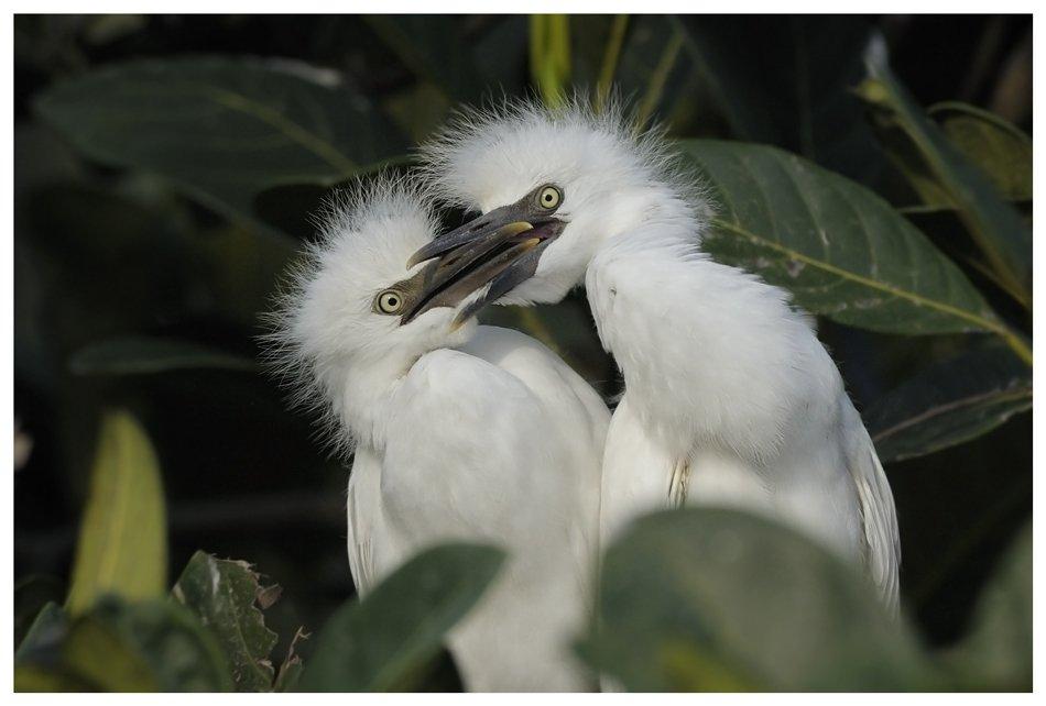 восточная, египетская, цапля;, bubulcus, ibis, coromandus;, птенцы, Наталья Паклина