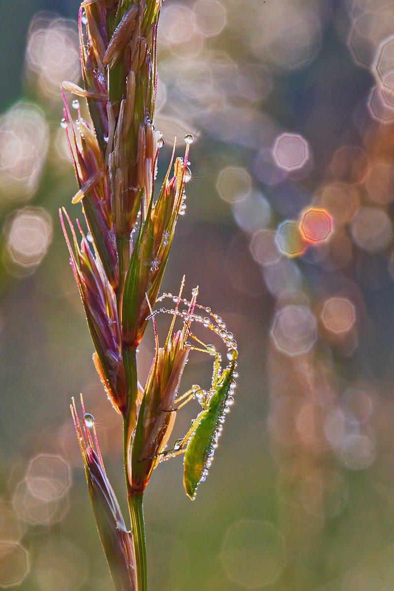 макро, насекомое, жук, роса, утро, природа. боке, Елена Соловьёва