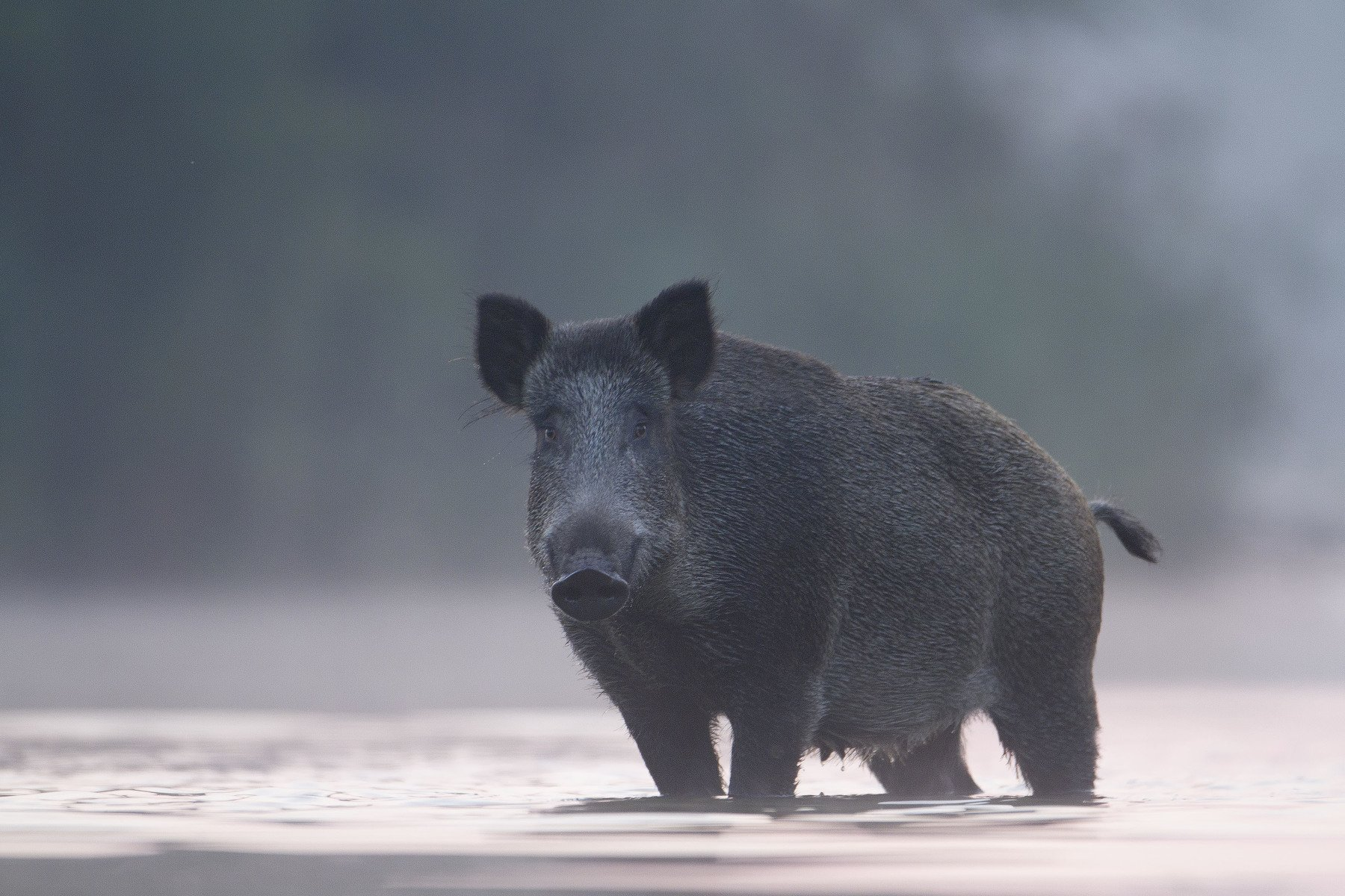 wild boar, mist, sunrise, pond, nature, wildlife, morning, Grzegorz Zimny