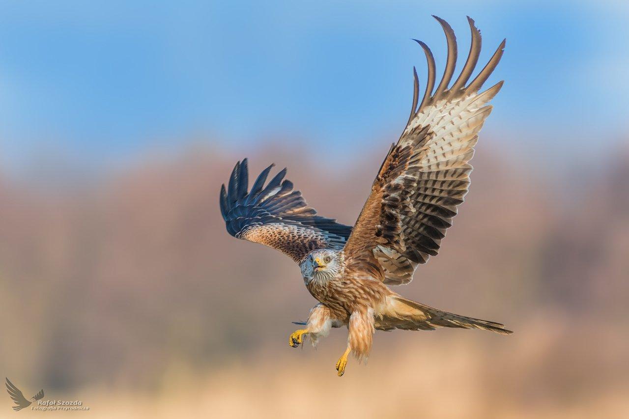 red kite, birds, nature, animals, wildlife, colors, winter, nikon, nikkor, meadow, flight, blue, sky, lubuskie, poland, Rafał Szozda