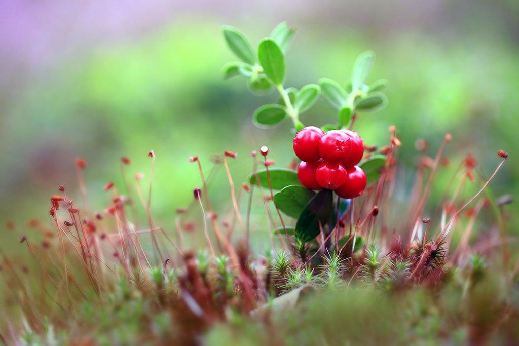 лес,ягоды,мох,, Виктор Шнайдер