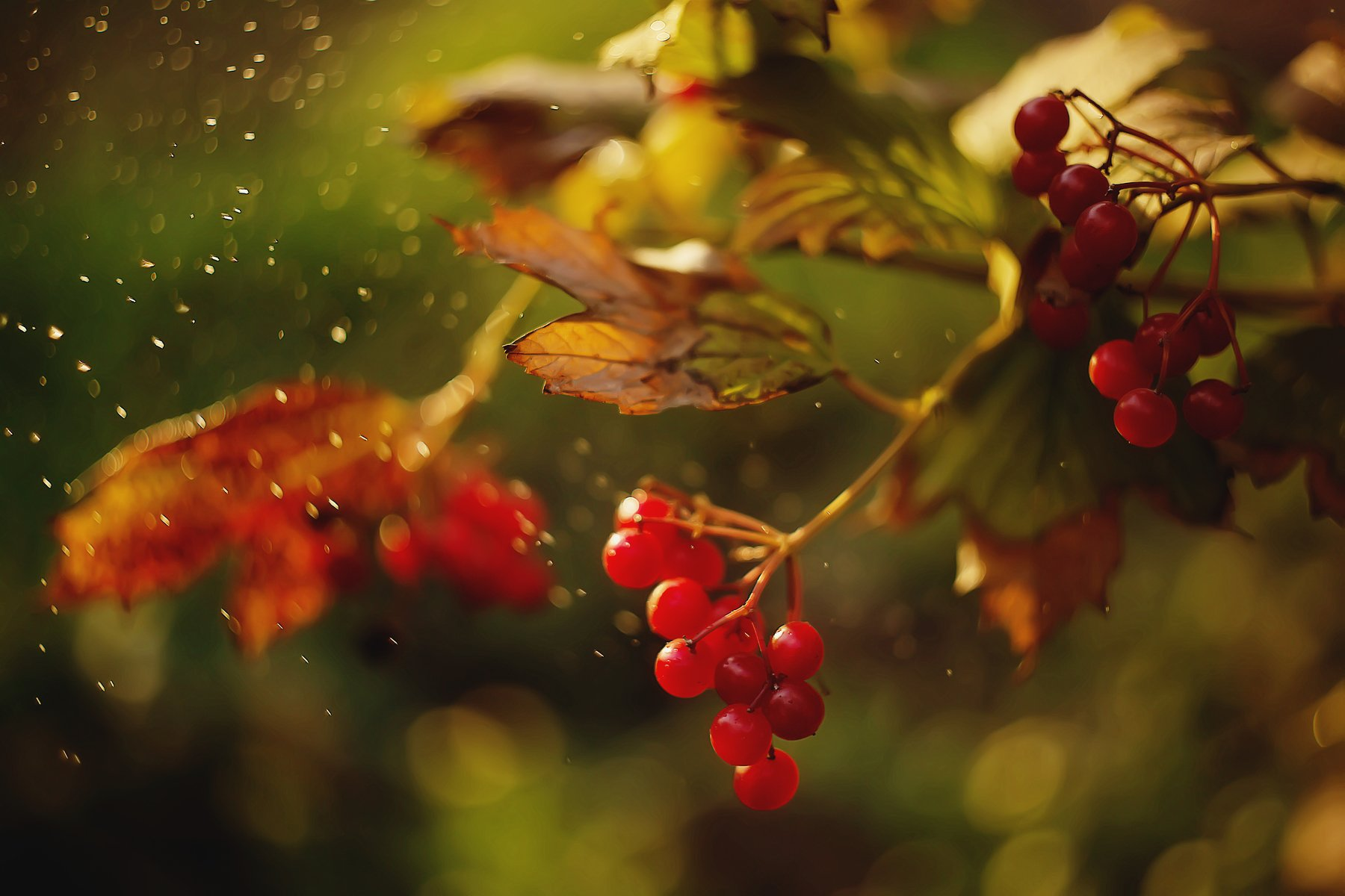 bokeh berries macro bokehful sunlight, Анастасия Колесникова