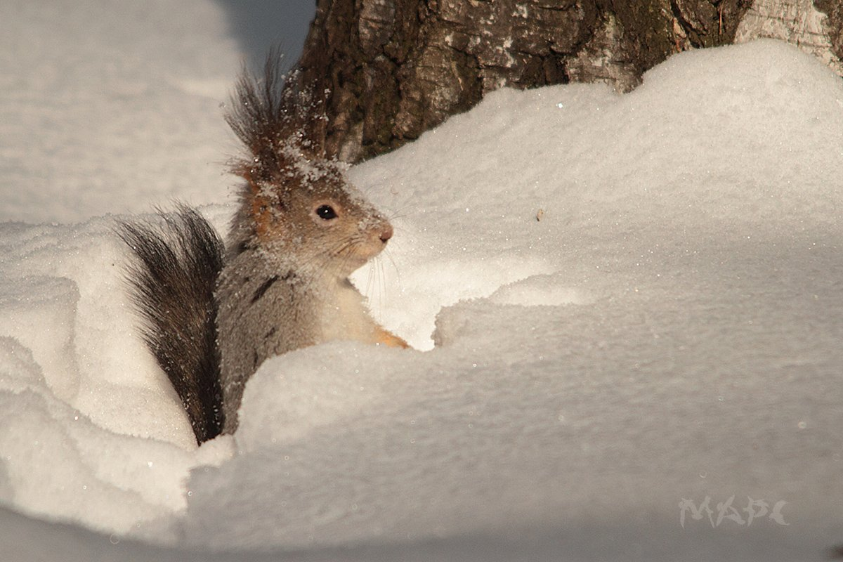 животные белка снег зима, Шангареев Марс