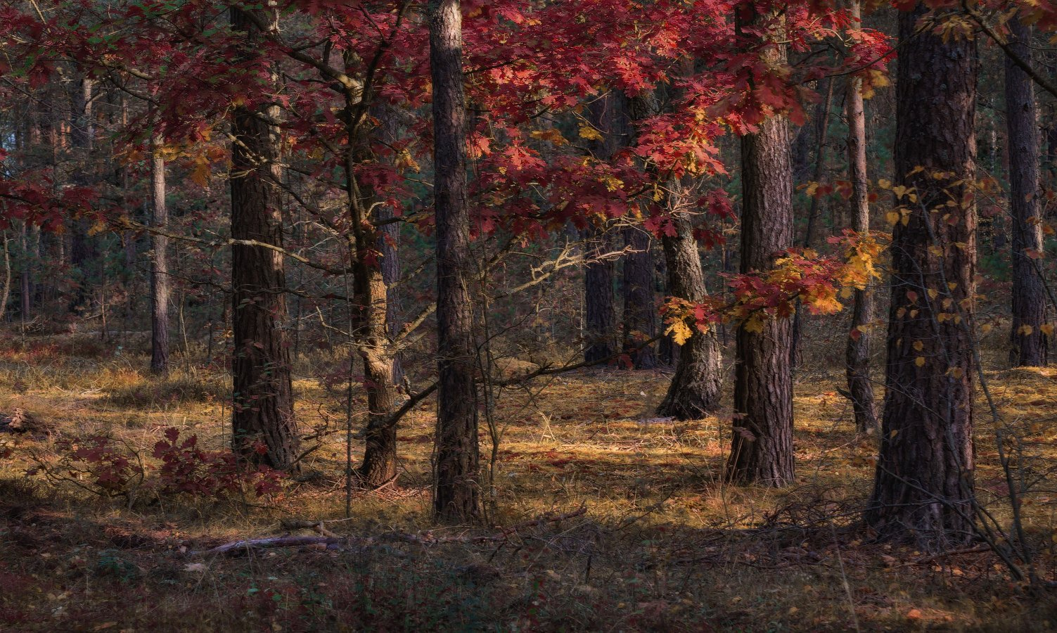 осень, утро,лес,, Сергей Шабуневич