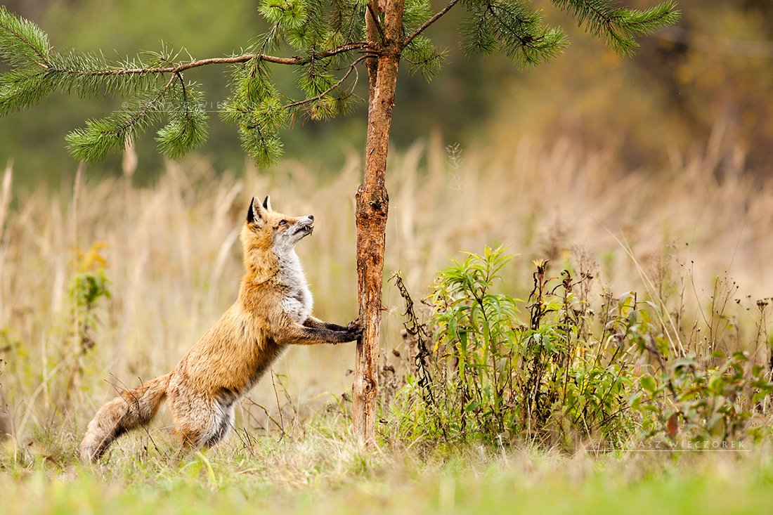 fox, fuchs, red fox, wildlife, shelter, hide, poland, fields, autumn, eye, lucky, tree, strange, Tomasz Wieczorek