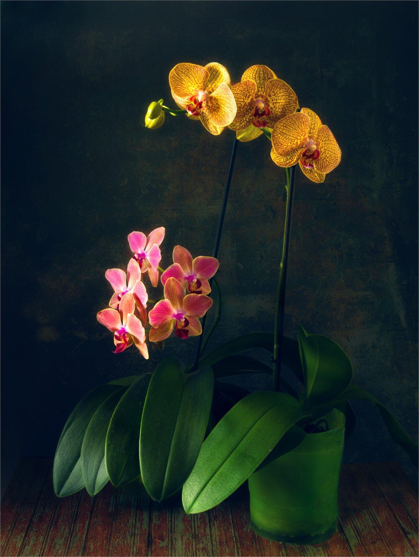 still life, натюрморт,    растение, природа,  винтаж, , цветы, орхидея, Михаил MSH