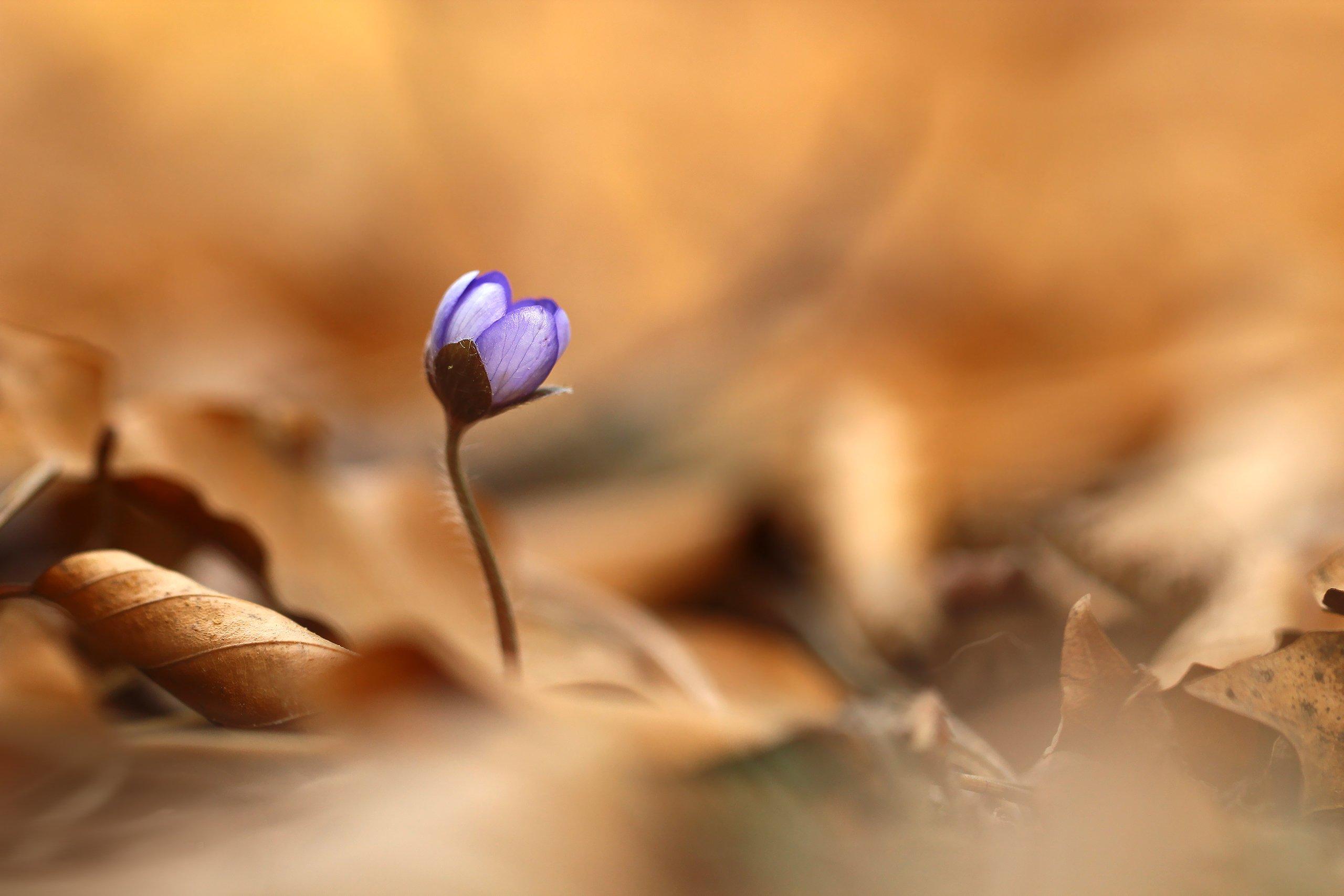 przylaszczka,kwiat,natura,przyroda, Grażyna Nowotna