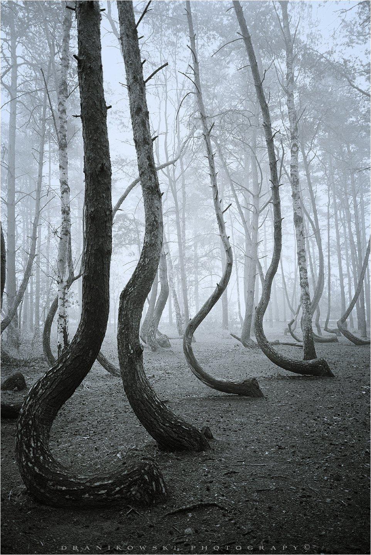 crooked forest mist magic poland dranikowski las trees foggy bw wood tree, Radoslaw Dranikowski