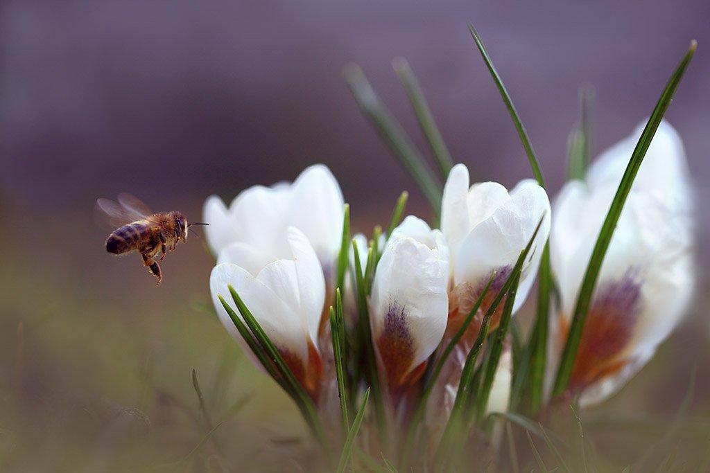 Парк,весна,крокус,пчела,полет., Виктор Шнайдер