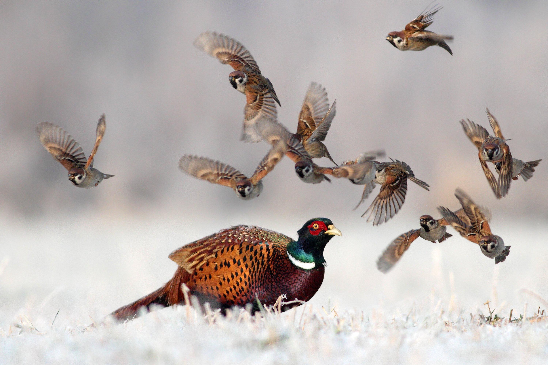 pheasant, tree sparrow, birds, snow, winter, cold, Adam Fichna