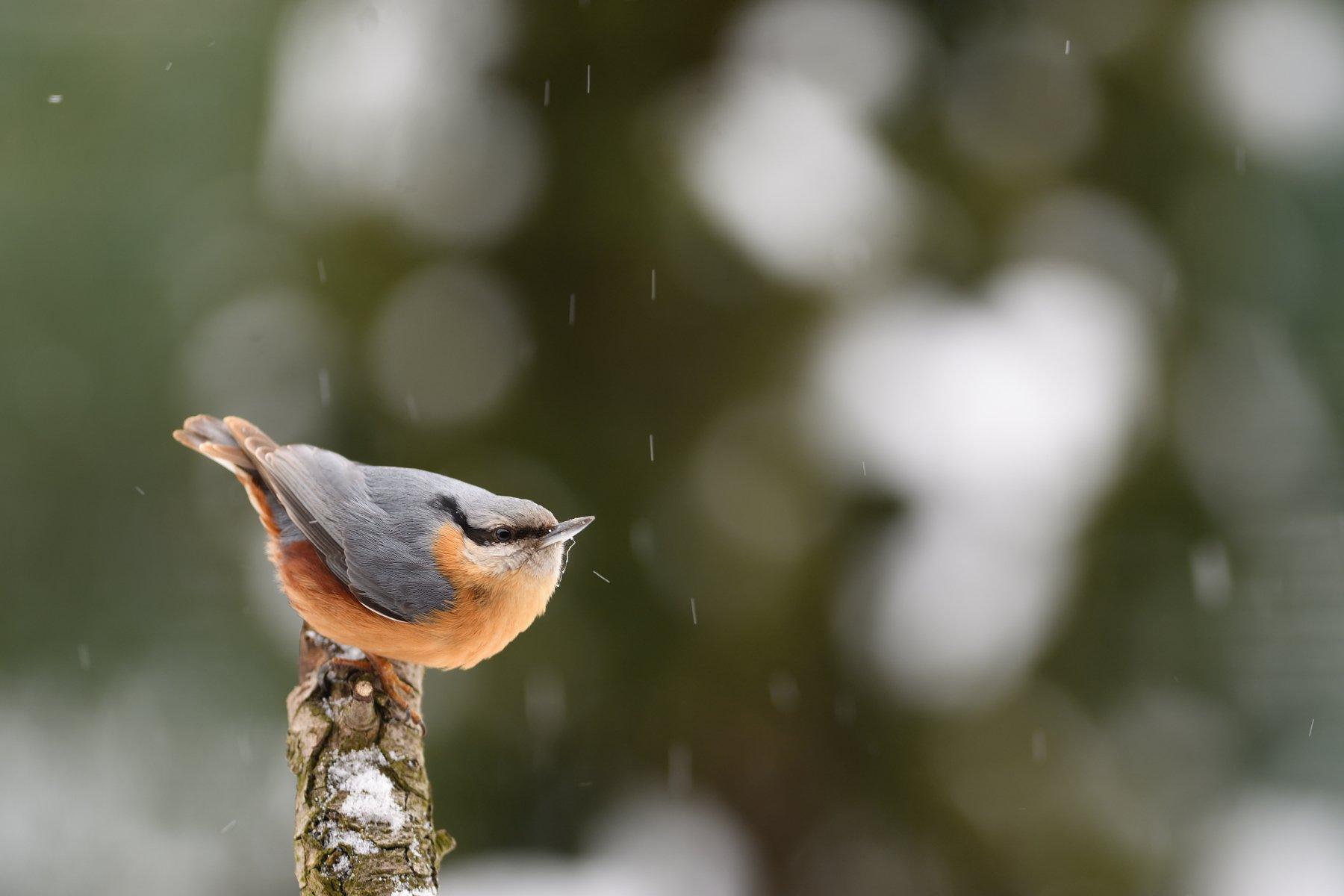 nature, animal, bird, birding, winter, Benčík Juraj