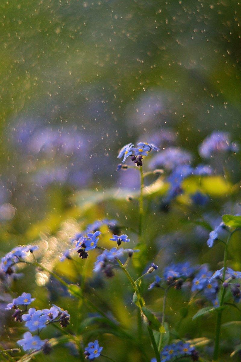 незабудки, весна, цветы, лес, Олеся Боева