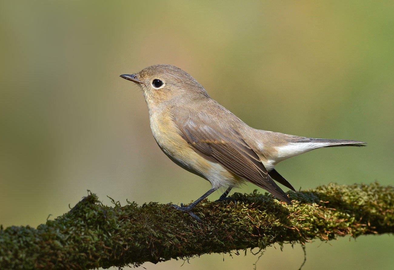 птица,малая мухоловка,бор, Иван