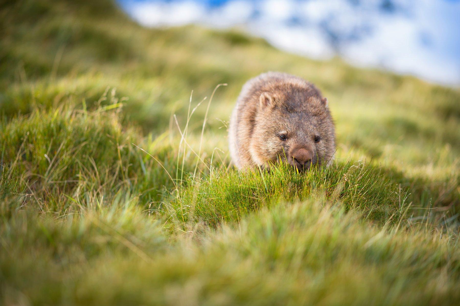wombat, Derek Zhang