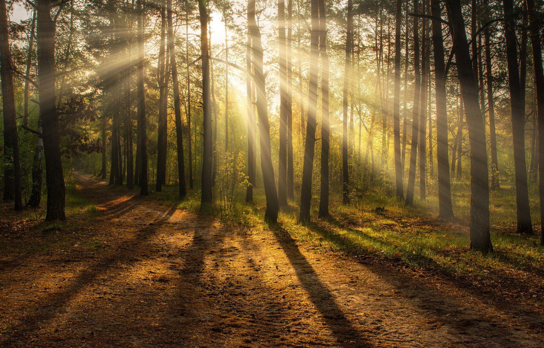 landscape, пейзаж, утро, лес, сосны, деревья, солнечный свет, солнечные лучи, солнце, природа, тропинка, дорога, проселок,, Михаил MSH